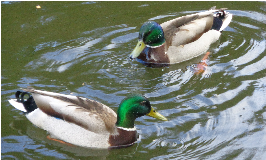 How to feed wild ducks responsibly?