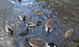 What to feed wild ducks?