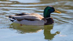 Quack Snacks Mallard Duck